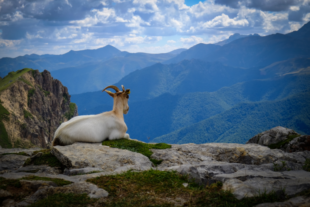 Goat on top of Picos de Europa