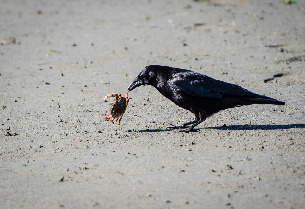 Crow and crab